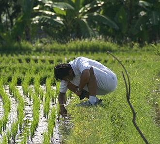 Local Technique Plant & Harvesting