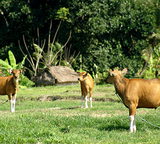 Balinese Cows